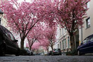 Kirschblüten in der Heerstraße in der Bonner Altstadt